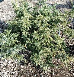 blueberry delight juniper - nursery.jpg