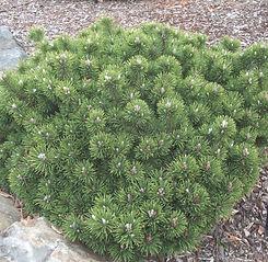 Pine Mugo Valley Cushion.jpg
