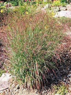 Grass Shenandoah.JPG