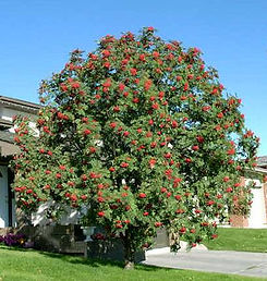 Mountain Ash Showy.jpg