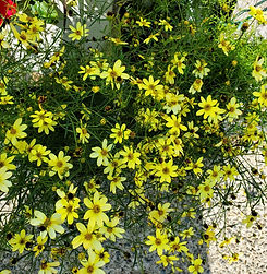 coreopsis - moonbeam - nursery.jpg