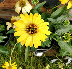 Lemon yellow echinacea.jpg