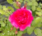 morden centennial rose.jpg