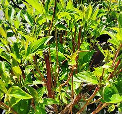 dogwood - red twigged (nursery).jpg