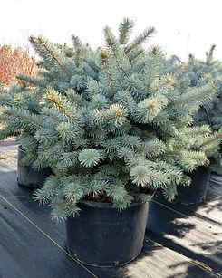zafiro blue spruce - nursery.jpg
