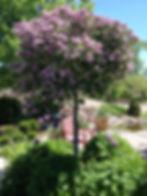 Lilac Dwarf KoreanSTD_edited.jpg