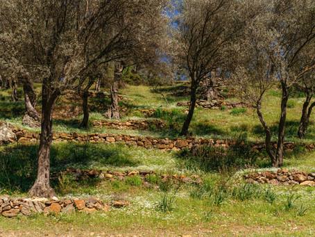 Seferihisarlı 99 köylü asırlık zeytin ağaçlarını korumak için dava açtı