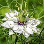 Nigelle blanche