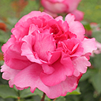 Rose Piaget