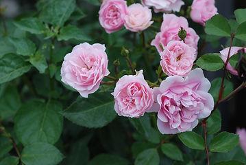 Rosa (Moderna Buskros-Gruppen) Bonica ('