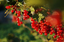 Röda vinbär miljöbilder (5).jpg
