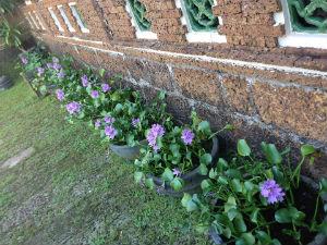 Hoa trồng ven tường