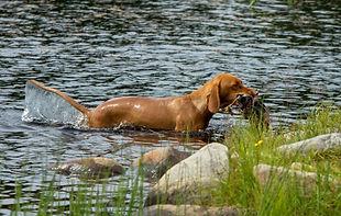 Trenger du apport trening for hunden din. Hommelfjellet kennel hjelper deg