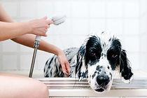 Hommelfjellet kennel utfører klipp og vask av hunden din
