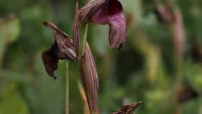 Greater Tongue Orchid Under Threat in the UK