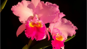 Global wildlife trade affects the Tree of Life—including orchids