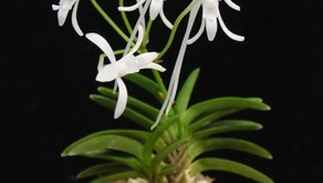 Vulnerable Orchid of the Rich and Noble is still traded today