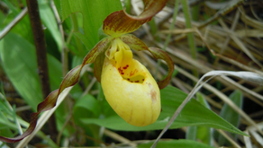 The long lives of wild orchids