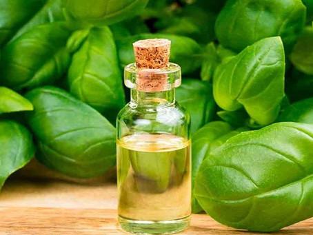 6 Benefícios do óleo de manjericão