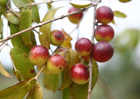 Conheça o camu camu, fruta com mais vitamina C que a laranja