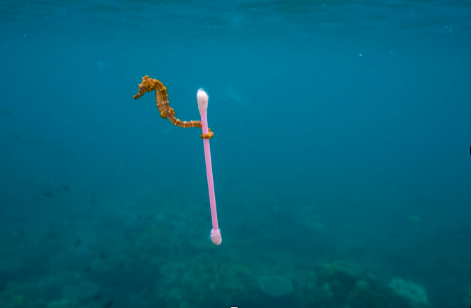 Seahorse that has picked up a plastic swab.