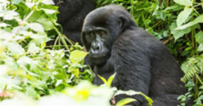 Game Drive Safari, Hills / Gorilla Tracking  Central Africa Holiday Destinations