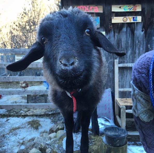 Oyu - chèvre cachemire