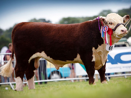National Hereford Show 2019