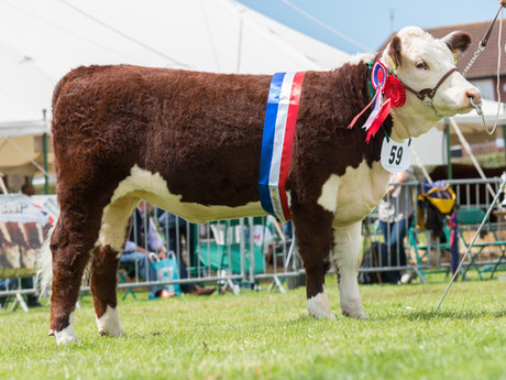 National Hereford Show 2017