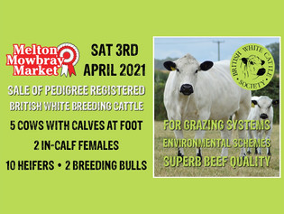 Exceptional trade for British White breeding cattle at BWCS Spring Sale Melton Mowbray
