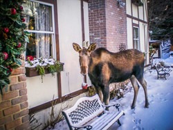Moose Outside the Bed & Breafast