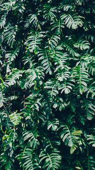 Philodendron Cascade