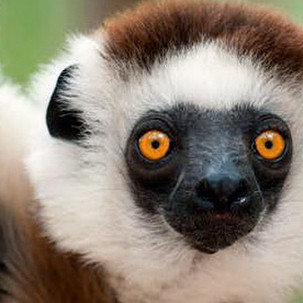 Anna ~ Lemur Center
