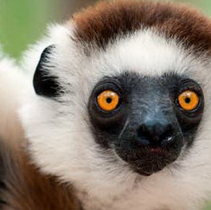Anna ~ Lemur Center