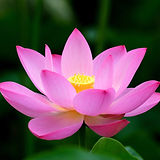 lotus-flower-meaning-symbolism.jpg