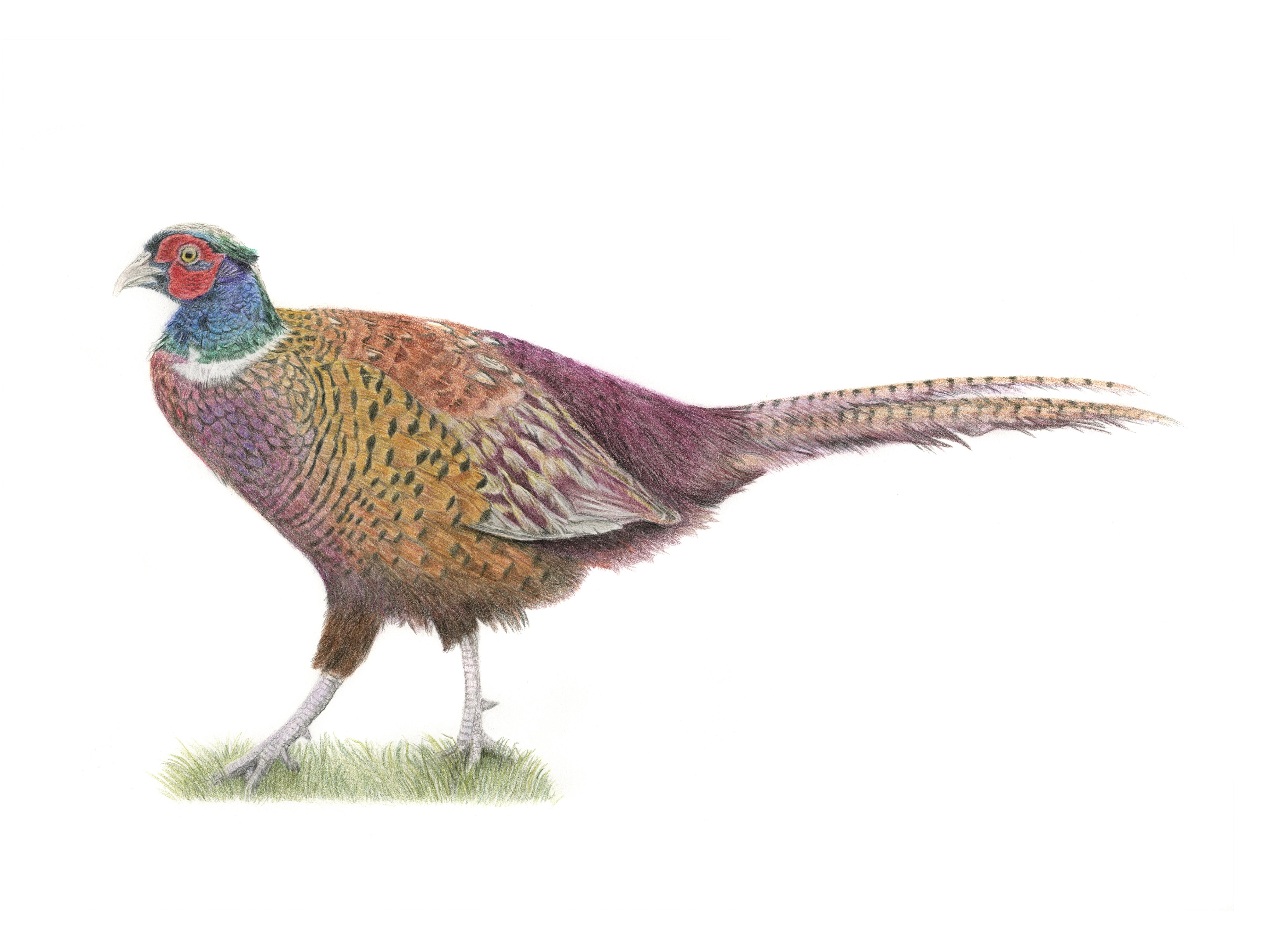 Pheasant A3
