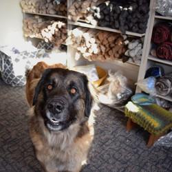 Puppy in the yarn shop! #puppy #lionberger #yarn #yarnshop #gurdyrun