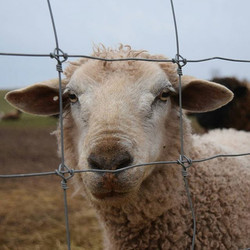 #sheep #lambs #gurdyrun #farmanimals