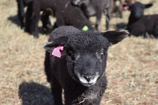 So many darling babies this year!#lambs