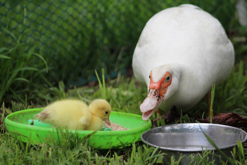 Happy momma with her new baby duckling!