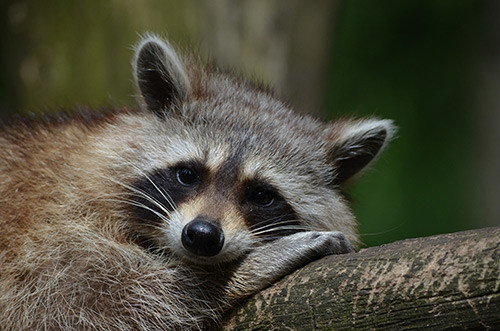The Raccoon Problem in Hamilton