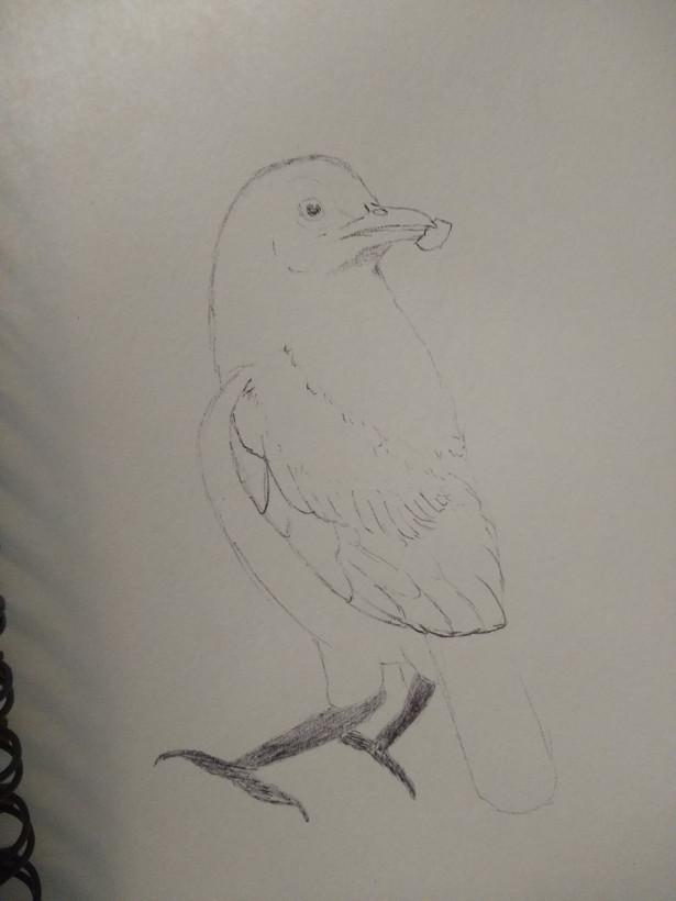 Bowerbird quick sketch