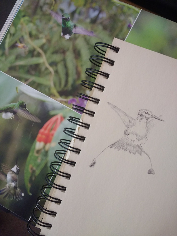 Hummingbird observational sketch