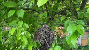 Další záchrana vyrojených včel