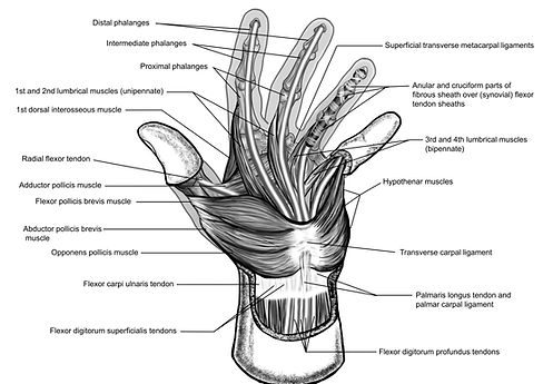 Labelled Hand Dissection Line Illustrati