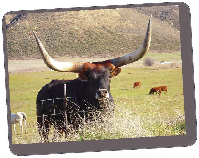 longhorn steer.png