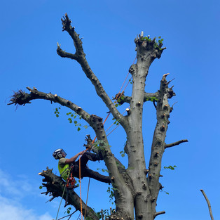 pollarding lime tree walsal