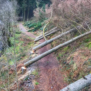 diseased larch felled for (National Resoureces Wales)