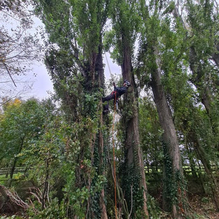 70ft lambardi poplars 30% crown reduction