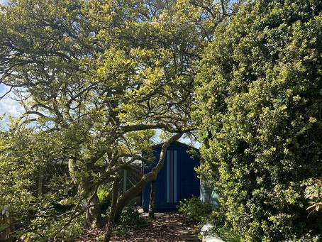 Beautiful magnolia tree Carmarthenshire (BEFORE)